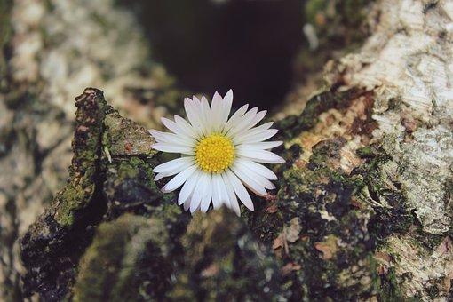 Daisy, Flower, Blossom, Bloom, Plant, Nature, Close
