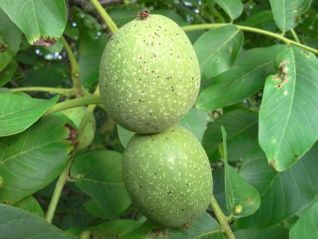 Walnut, Nut, Tree, Fruit, Fruits, Juglans Regia