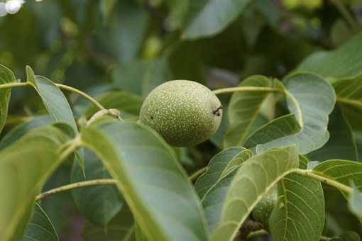 Walnut, Green, Fruit, Fresh, Healthy, Nut, Food, Tree