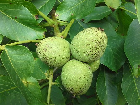 Walnut, Tree, Fruits, Juglans Regia, Fruit Walnut, Nut