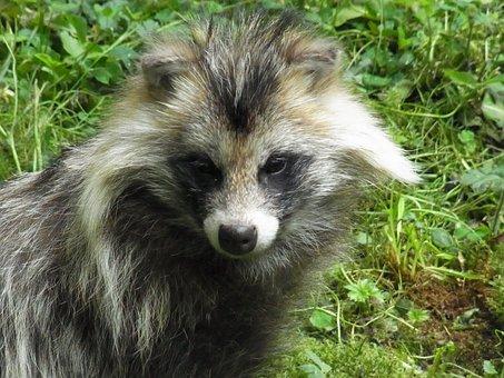 Raccoon Dog, Nyctereutes Procyonoides, Predator, Animal