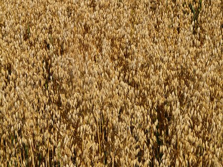 Field, Oats, Oat Field, Arable, Cereals, Grain