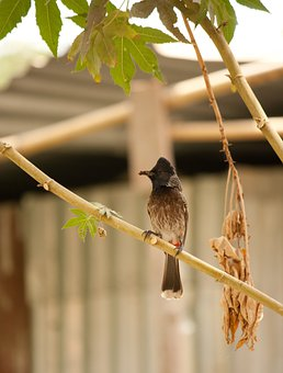 Bulbul, Bird, Red-vented, Fauna, Perched, Avian