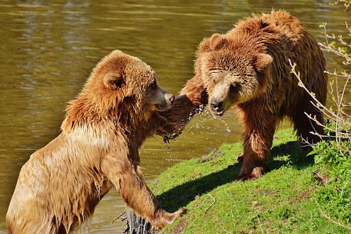 Bear, Wildpark Poing, Play, Slap In The Face, Water