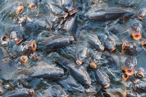 Fish, Carp, Pattern, Texture, Water, Pond, Lake, Animal