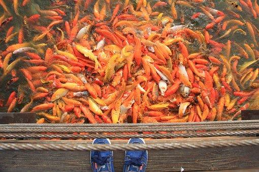 Koi Fish, Fish, Pond, Water, Carp, Japanese, Fortune
