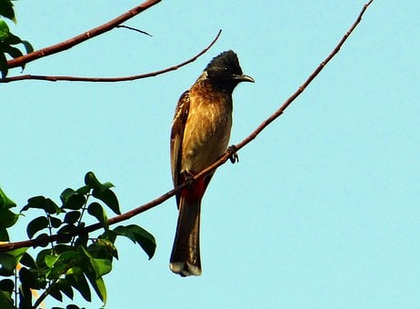 Bird, Red-vented Bulbul, Pycnonotus Cafer, Dharwad