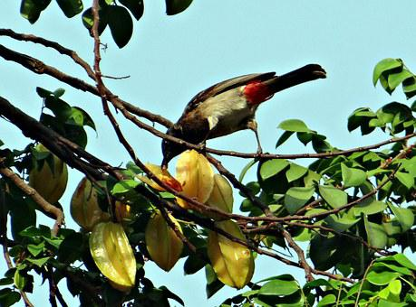 Red-vented Bulbul, Pycnonotus Cafer, Bird