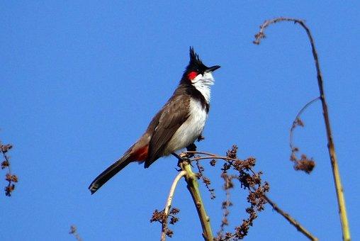 Red-whiskered Bulbul, Bird, Pycnonotus Jocosus, Bulbul