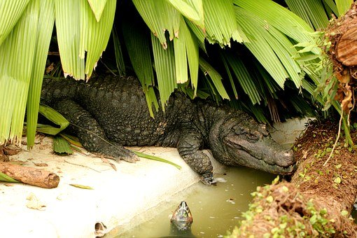 Alligator Crown, Alligator In The Shade, Reptile