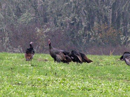 Turkey, Wild Turkey, Gobbler, Nature, Bird, Wild