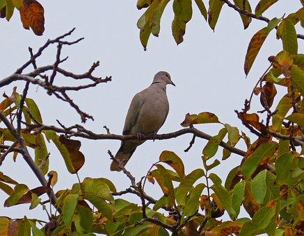 Turtledove, Walnut, Bird, Branch, Tree