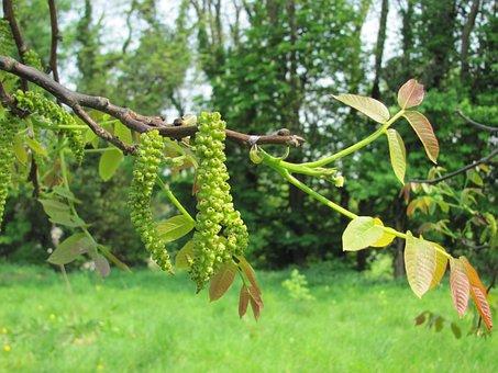 Walnut Tree Flower, Blossom, Bloom, Walnut Tree