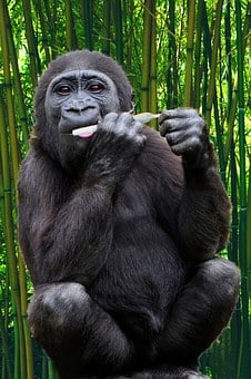 Gorilla, Ape, Primate, Monkey, Wildlife, Animal, Mammal