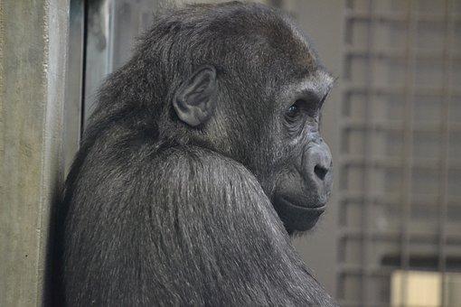 Gorilla, Ape, Animal, Face, Zoo