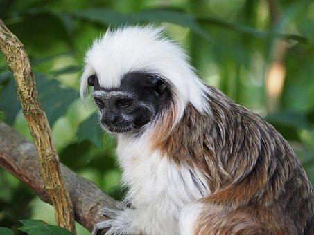 Cottontop Tamarin, Monkey, Small, Sweet, Cheeky, Zoo