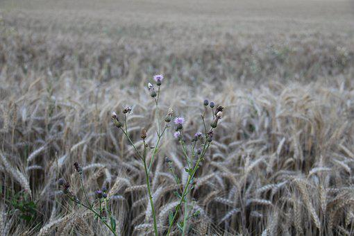 Wheat Field, Thistle, Field, Agriculture, Spike