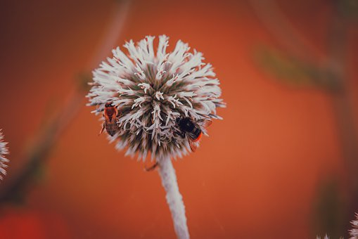 Thistle, Flower, Plant, Bumblebee, Bee, Ball Thistle