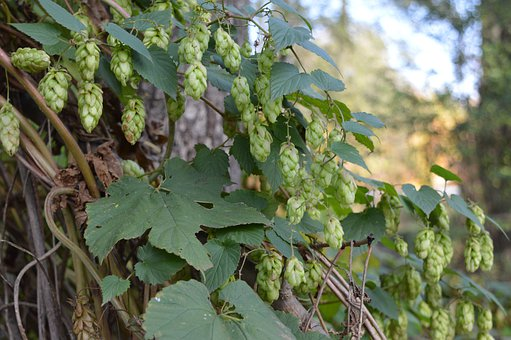 Hops, Harvest, Agriculture, Autumn, Brewing, Beer