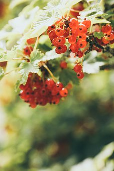 Branch, Currant Berries, Red, Nature, Summer, Berries