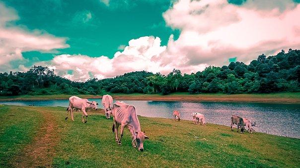 Cattle, Graze, River, Eat, Cow