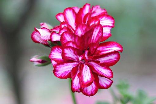 Geranium, Flower, Petals, Bloom, Plant, Nature
