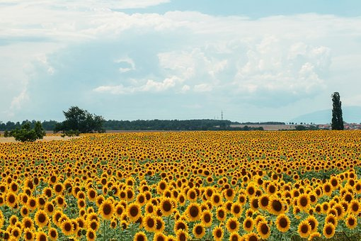 Field, Sunflower, Flowers, Sowing, Nature, Summer, Sky