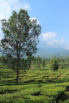 Tree, Sky, Tea Garden, Leaf, Nature, Landscape, Summer