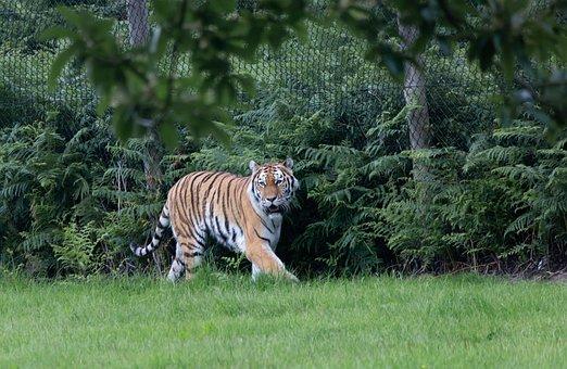 Tiger, Predator, Hunter, Nature, Animal, Wildlife
