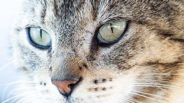 Cat, Animal, Kitten, Pet, Cute, Feline, Whiskers