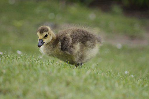 Chicks, Baby Animal, Green, Animal, Young, Nature