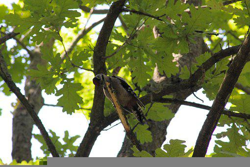 Woodpecker, Bird, Tree, Great Spotted Woodpecker