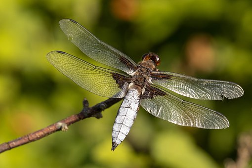 Dragonfly, Insect, Branch, Four-spotted Chaser