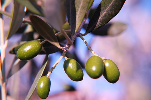 Olive, Green, Branch, Mediterranean, Plant, Healthy