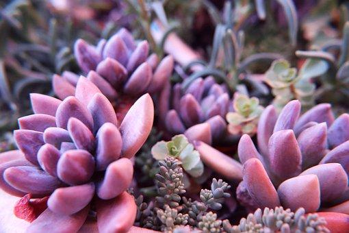 Echeveria, Echeveria Succulents, Echeveria Cactus