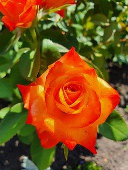 Rose, Orange, Flower, Bouquet, Beauty, Summer, Love
