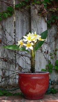 Flowers, Pot, Plumeria, Potted Plumeria, Flowerpot