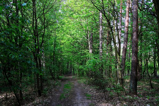 Forest, Forest Road, Path, Tree