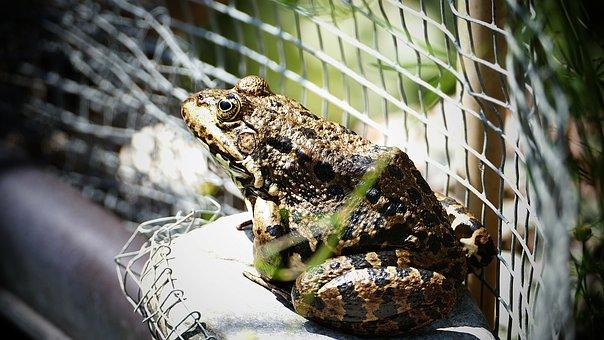 Frog, Toad, Amphibian