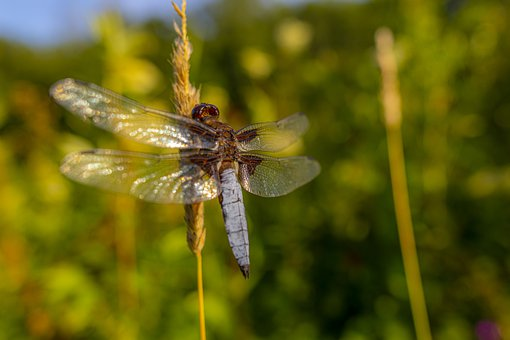 Dragonfly, Grass, Insect, Four-spotted Chaser