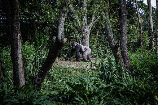 Ape, Forest, Animals, Nature