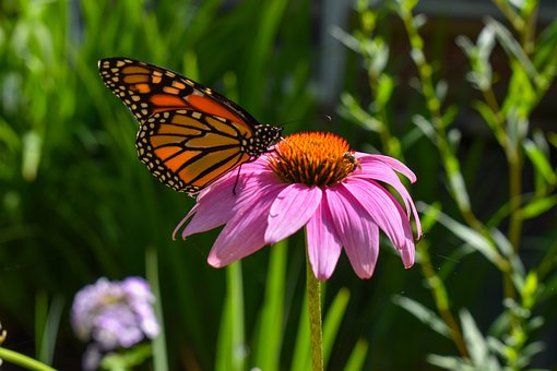 Monarch, Butterfly, Pink, Flower, Coneflower, Orange