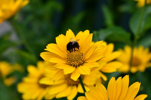 Crysanthemum, Bee, Flower, Bloom, Petals