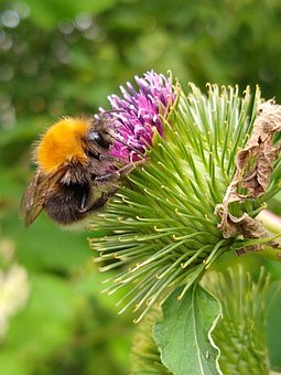 Plant, Bee, Flower, Green, Thistle