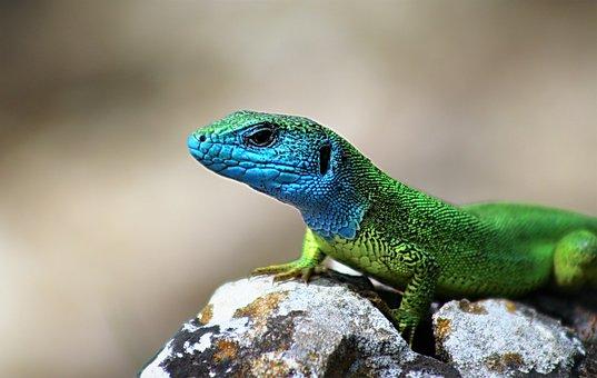 Amphibian, Lizard, Reptile