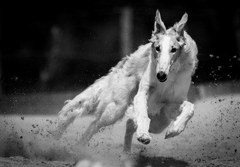 Dog, Race, Hound, Run