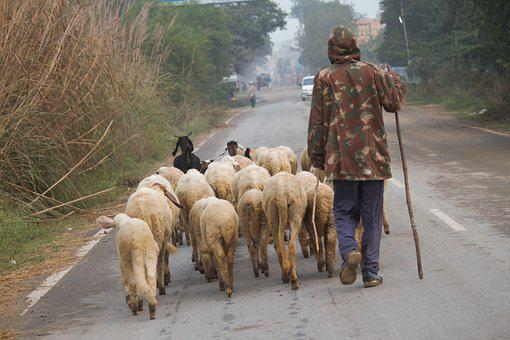 Sheep, Herd, Shepherd, Goat, Animals, Walking, Poor Man