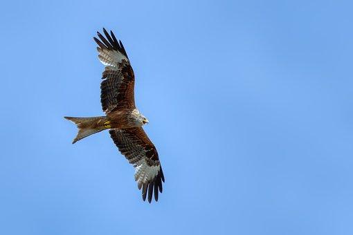 Red Milan, Red Kite, Bird Of Prey, Span, Raptor