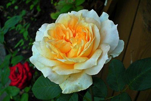 Rose, Full Bloom, Flower, Tea, Nature, Plant, Beauty