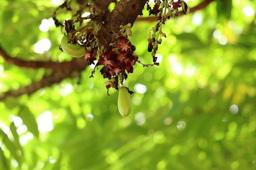 Bilimbi, Fruit, Sour, Kerala, Farm, Tree, Nature